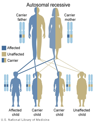 National Library of Medicine (US). Genetics Home Reference [Internet]. Bethesda (MD): The Library; 2013 Sep 16. [Illustration] What are the different ways in which a genetic condition can be inherited? [cited 2015 Jan 5]. Available from: http://ghr.nlm.nih.gov/handbook/illustrations/autorecessive