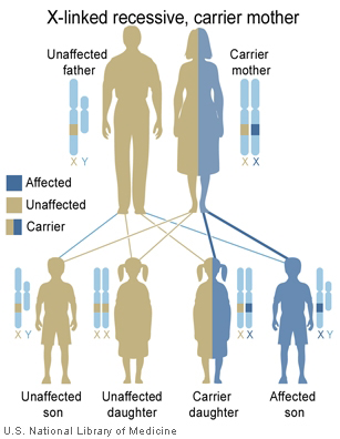 National Library of Medicine (US). Genetics Home Reference [Internet]. Bethesda (MD): The Library; 2013 Sep 16. [Illustration] What are the different ways in which a genetic condition can be inherited? [cited 2015 Jan 5]. Available from: http://ghr.nlm.nih.gov/handbook/illustrations/xlinkrecessivemother